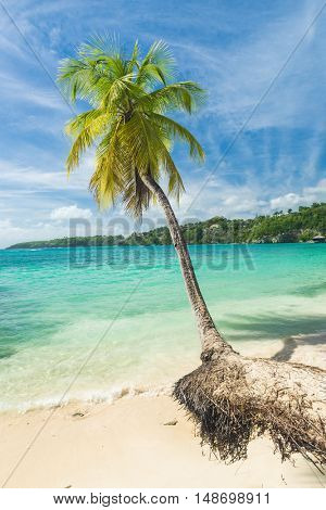 Lonely coconut palm tree on the Caravelle beach in Sainte Anne, Guadeloupe, Caribbean