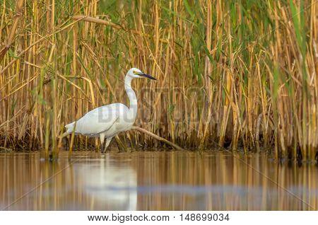 Little egret (Egretta garzetta) looking for food in the water