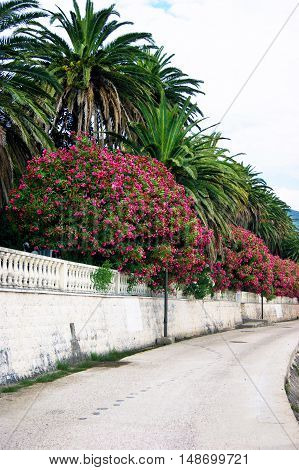 Oleander and palm trees on the roadside pedestrian road