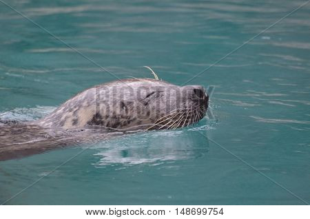 Sea lion swimming with his nose out of the water.