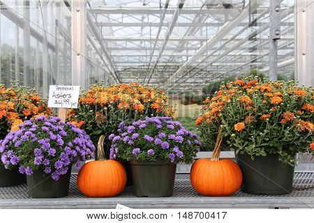 colorful mums and pumpkins for sale at a greenhouse farm stand