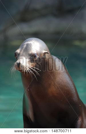 Young wet sea lion with a slick smooth coat.