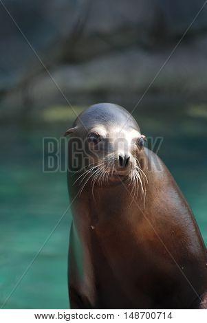 Really cute stellar sea lion beside the water.