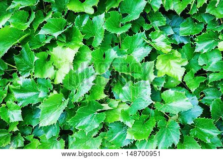 Green grape leaves in the garden. Natural background of grape leaves.