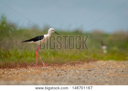Black-winged Stilt (Himantopus himantopus) searching for food in shallow waters