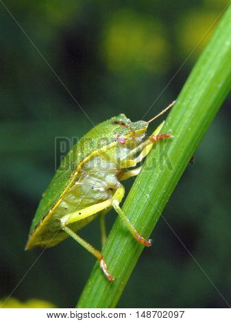 Green Stink Bug - Nezara Viridula - Sitting On A Green Stalk