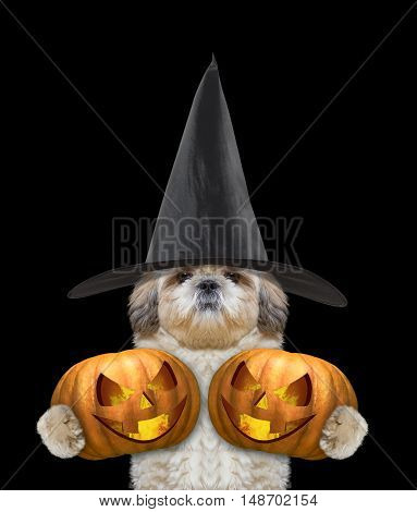 Cute dog in a costume with two halloweens pumpkins -- isolated on black