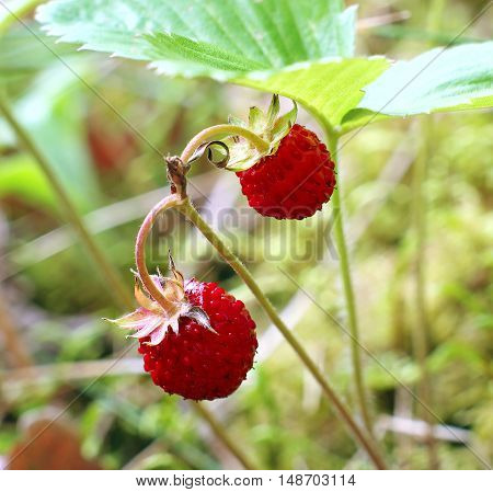 Wild strawberry in forest closeup. Focus on a foreground.
