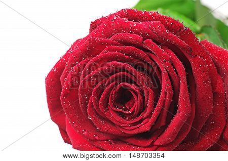 Closeup red rose with water drops isolated on white