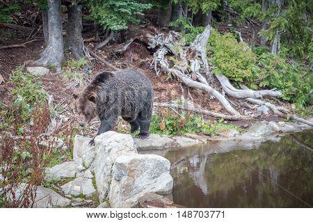 Brown Bear Walking through the wilderness in British Columbia