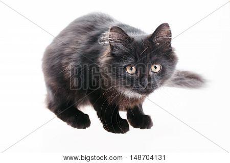 Tabby Black British Shorthair Kitten on white background Cute british shorthair kitten standing on white background