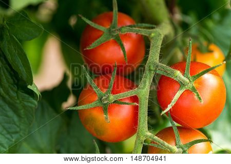 Red Tomatoes Growing On The Branches