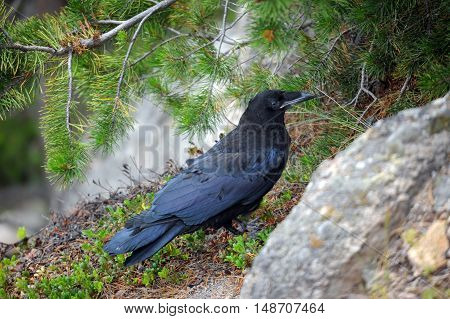 Raven perches under a pine tree at Gibbon Falls in Yellowstone National Park.