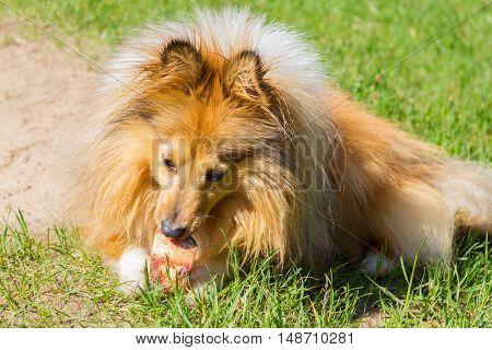 shetland sheepdog chews a bone in grass