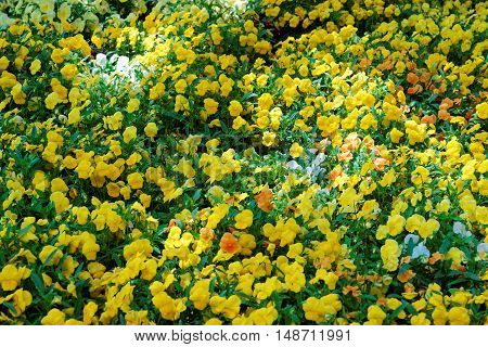 Bright Yellow Pansies In A Big Flowerbed
