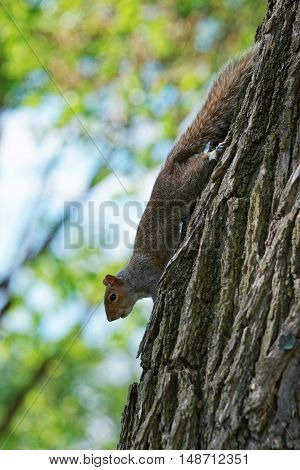 Small animal was seen on the tree in the park near the National Mall in Washington D.C. USA. The fluffy squirrel was curiously looking for nuts or other food. The animal has beautiful and long tail.