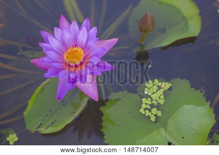 Lotus blooming with selective and soft focus.