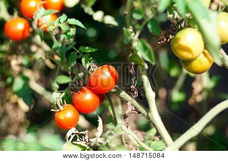 Tomato plant with ripe fruits in the vegetable garden in summer. Ripe natural tomatoes growing on a branch