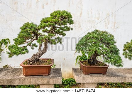 Suzhou China - October 23 2013: Bonsai trees in the Humble Administrator's Garden a Chinese garden in Suzhou a UNESCO World Heritage Site.