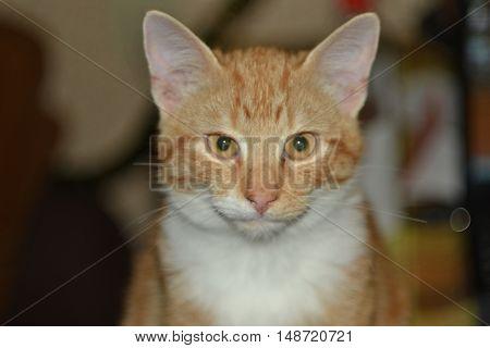 cat, red, animas, beast,  Red-headed cat, kitten, tail, mustache