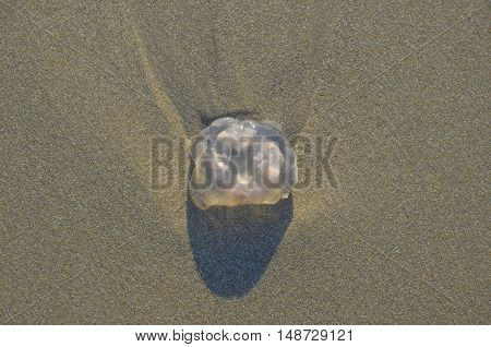 Coast beach sand surface background. Jellyfish in the natural environment