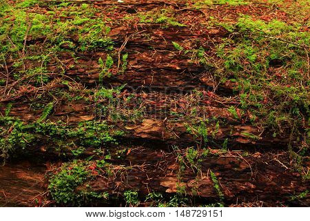 a picture of an exterior Pacific Northwest forest of a  mossy conifer log