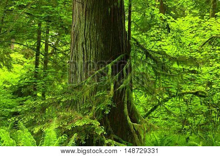 a picture of an exterior Pacific Northwest forest with a old growth Western red cedar tree