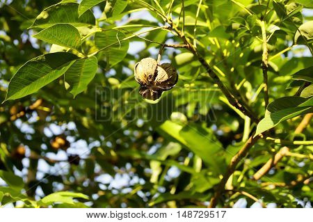 Rubber Ball Is On A Rubber Tree.