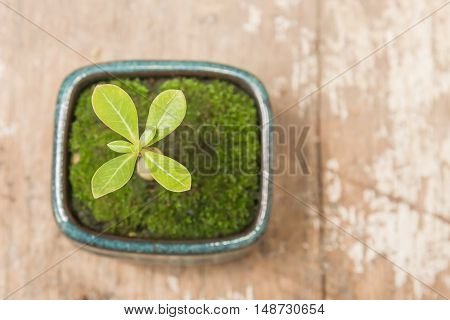Top view small tree in pot on wood background
