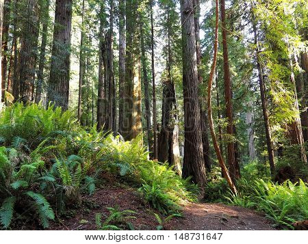 Path Leading through Lush, Green Redwood Forest