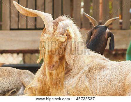 Old brown domestic goat (Capra aegagrus hircus) sleeping on the table