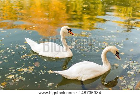 Two swans floating in a pond autumn