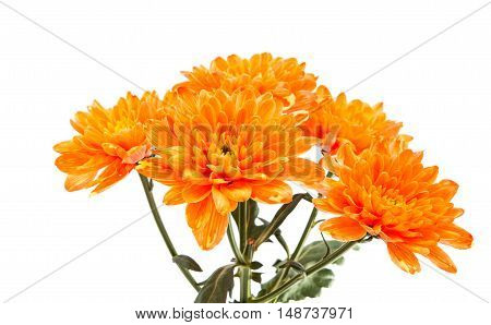 Autumn Chrysanthemum flower isolated on white background