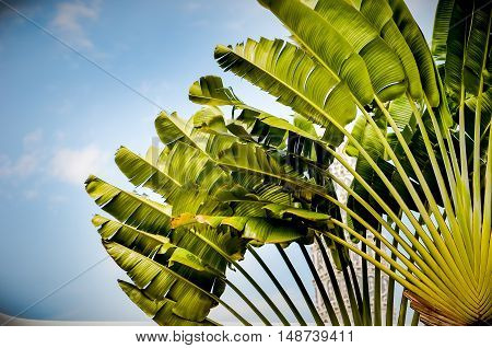 Travellers palm (Ravenala madagascariensis) background is blue sky