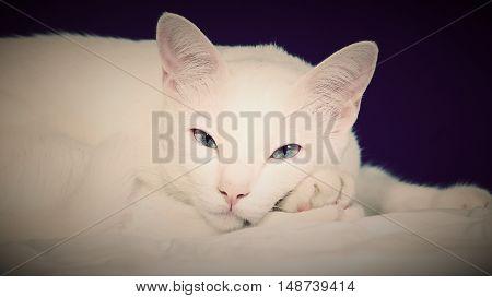 white Siamese cat blue eye in studio