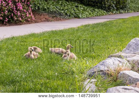 Canada Goose - Branta canadensis family between grass