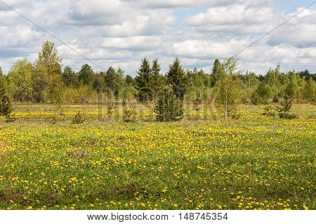 spring landscape with forest and meadow with dandelions
