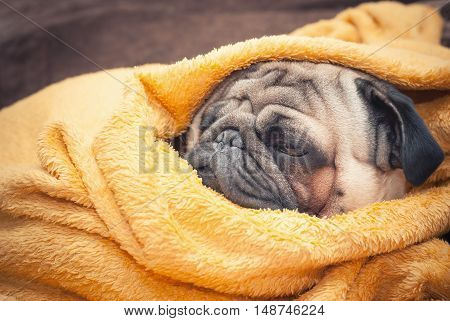 Sad pug dog wrapped in a terry yellow blanket. Picture for printed materials and backgrounds.