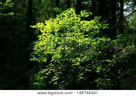 a picture of an exterior Pacific Northwest forest with a young  Big leaf maple tree in spring