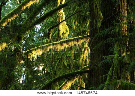 a picture of an exterior Pacific Northwest forest with a mossy conifer tree