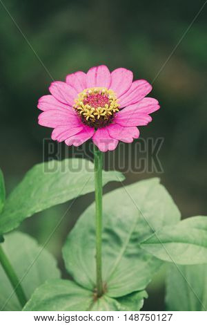 Pink zinnia flowers on nature background.- Vintage Filter