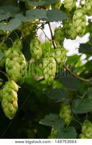 Natural background of branches and leaves of hops