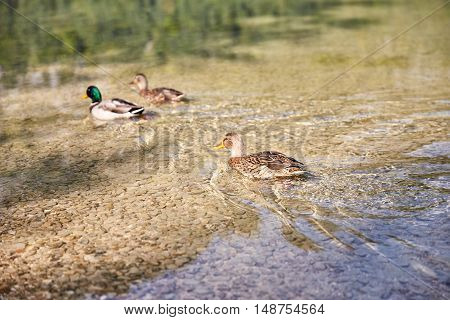 Ducks Swimming In Lake Offensee In Austria
