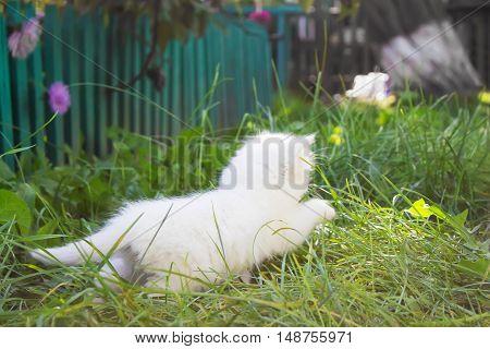 fleeing white fluffy kitten in the grass
