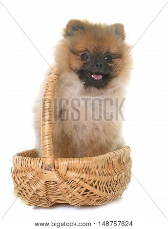 young pomeranian dog in front of white background