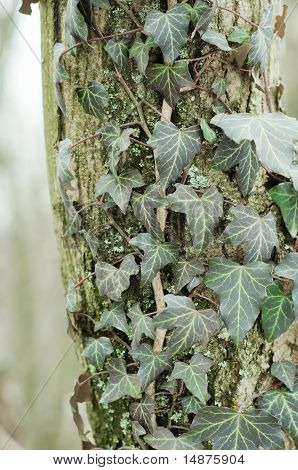 Ivy Leaves On An Trunk Of Tree