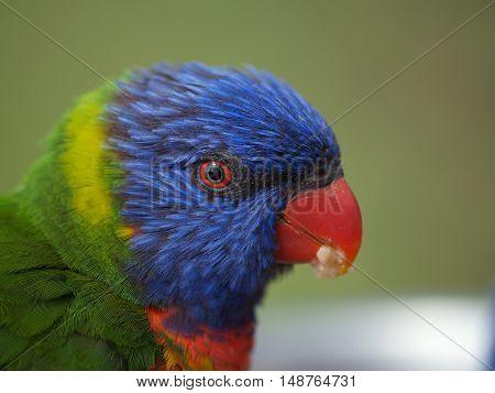 Head of australian rainbow lorikeet parrot - Trichoglossus moluccanus
