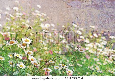 Seaside daisies (Beach Aster, Beach Daisy or Fleabane) in a spring garden. Textured image, selective focus with copy space.