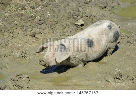 Gloucester Old Spot Pig Young pig in mud