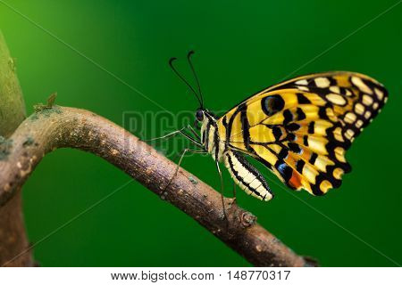 Tropical common lime butterfly on the tree. Macro photography of wildlife.